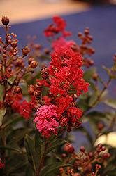 Enduring Summer™ Red Crapemyrtle (Lagerstroemia 'PIILAG B5') at Stauffers Of Kissel Hill