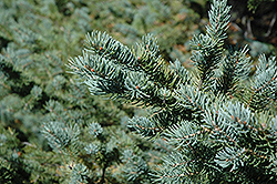 White Spruce (Picea glauca) at Stauffers Of Kissel Hill