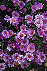 Purple Dome Aster (Aster novae-angliae 'Purple Dome') at Stauffers Of Kissel Hill