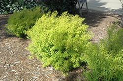 Mellow Yellow Spirea (Spiraea thunbergii 'Mellow Yellow') at Stauffers Of Kissel Hill