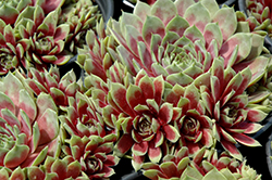 Commander Hay Hens And Chicks (Sempervivum 'Commander Hay') at Stauffers Of Kissel Hill