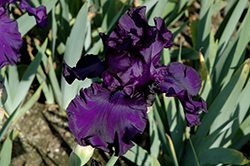 Dusky Challenger Iris (Iris 'Dusky Challenger') at Stauffers Of Kissel Hill