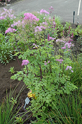 Black Stockings Meadow Rue (Thalictrum 'Black Stockings') at Stauffers Of Kissel Hill