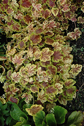 Solar Eclipse Foamy Bells (Heucherella 'Solar Eclipse') at Stauffers Of Kissel Hill