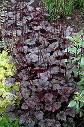 Plum Pudding Coral Bells (Heuchera 'Plum Pudding') at Stauffers Of Kissel Hill