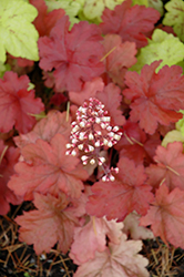Fire Alarm Coral Bells (Heuchera 'Fire Alarm') at Stauffers Of Kissel Hill