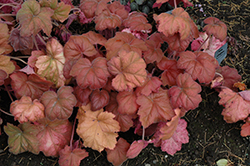 Southern Comfort Coral Bells (Heuchera 'Southern Comfort') at Stauffers Of Kissel Hill