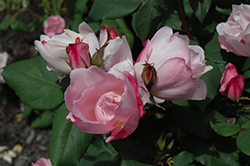 Blushing Knock Out® Rose (Rosa 'Radyod') at Stauffers Of Kissel Hill