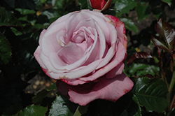 Barbra Streisand Rose (Rosa 'WEKquaneze') at Stauffers Of Kissel Hill