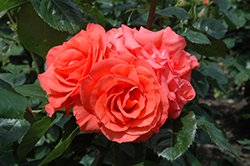 Marmalade Skies Rose (Rosa 'Marmalade Skies') at Stauffers Of Kissel Hill