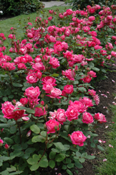 Double Knock Out® Rose (Rosa 'Radtko') at Stauffers Of Kissel Hill