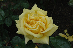 Oregold Rose (Rosa 'Oregold') at Stauffers Of Kissel Hill