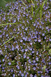 Crystal River Speedwell (Veronica 'Reavis') at Stauffers Of Kissel Hill