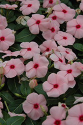Titan™ Apricot Vinca (Catharanthus roseus 'Titan Apricot') at Stauffers Of Kissel Hill