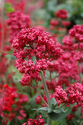 Red Valerian (Centranthus ruber) at Stauffers Of Kissel Hill