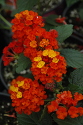 Bandana® Red Lantana (Lantana camara 'Bandana Red') at Stauffers Of Kissel Hill