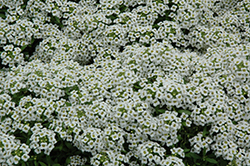 Snow Crystals Alyssum (Lobularia maritima 'Snow Crystals') at Stauffers Of Kissel Hill
