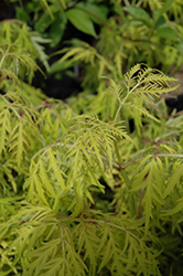 Lemony Lace® Elder (Sambucus racemosa 'SMNSRD4') at Stauffers Of Kissel Hill