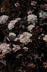 Tiny Wine® Ninebark (Physocarpus opulifolius 'SMPOTW') at Stauffers Of Kissel Hill