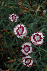 Raspberry Swirl Pinks (Dianthus 'Devon Siskin') at Stauffers Of Kissel Hill