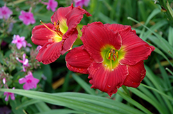 Happy Ever Appster® Red Hot Returns Daylily (Hemerocallis 'Red Hot Returns') at Stauffers Of Kissel Hill