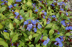 Plumbago (Ceratostigma plumbaginoides) at Stauffers Of Kissel Hill