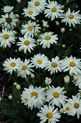 Whoops-A-Daisy Shasta Daisy (Leucanthemum x superbum 'Whoops-A-Daisy') at Stauffers Of Kissel Hill