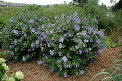 Blue Chiffon® Rose of Sharon (Hibiscus syriacus 'Notwoodthree') at Stauffers Of Kissel Hill