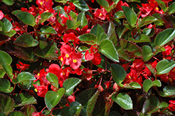 Big® Red Green Leaf Begonia (Begonia 'Big Red Green Leaf') at Stauffers Of Kissel Hill