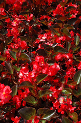 Big® Red Bronze Leaf Begonia (Begonia 'Big Red Bronze Leaf') at Stauffers Of Kissel Hill