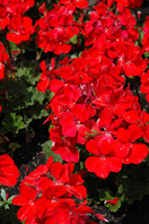 Sarita Fire Geranium (Pelargonium 'Sarita Fire') at Stauffers Of Kissel Hill