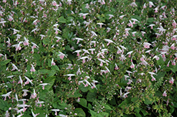 Summer Jewel Pink Sage (Salvia 'Summer Jewel Pink') at Stauffers Of Kissel Hill