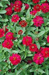 Profusion Double Hot Cherry Zinnia (Zinnia 'Profusion Double Hot Cherry') at Stauffers Of Kissel Hill