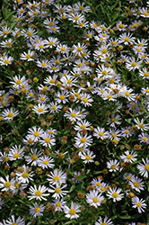 Blue Star Japanese Aster (Kalimeris incisa 'Blue Star') at Stauffers Of Kissel Hill