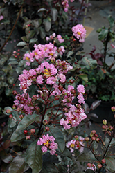 Rhapsody In Pink Crapemyrtle (Lagerstroemia indica 'Whit VIII') at Stauffers Of Kissel Hill