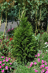 Steeplechase Arborvitae (Thuja 'Steeplechase') at Stauffers Of Kissel Hill