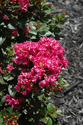 Berry Dazzle Crapemyrtle (Lagerstroemia indica 'Berry Dazzle') at Stauffers Of Kissel Hill