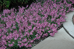AngelMist® Spreading Pink Angelonia (Angelonia angustifolia 'AngelMist Spreading Pink') at Stauffers Of Kissel Hill