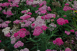 Song Siren Layla Yarrow (Achillea millefolium 'Song Siren Layla') at Stauffers Of Kissel Hill