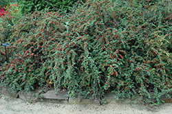 Cranberry Cotoneaster (Cotoneaster apiculatus) at Stauffers Of Kissel Hill