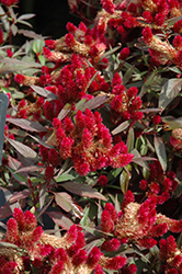 Intenz Lipstick Celosia (Celosia 'Intenz Lipstick') at Stauffers Of Kissel Hill