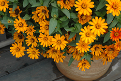 Zahara® Sunburst Zinnia (Zinnia 'Zahara Sunburst') at Stauffers Of Kissel Hill