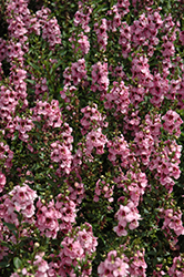 Serenita Pink Angelonia (Angelonia angustifolia 'Serenita Pink') at Stauffers Of Kissel Hill