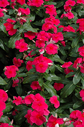 Valiant Punch Vinca (Catharanthus roseus 'Valiant Punch') at Stauffers Of Kissel Hill