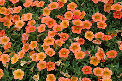 MiniFamous™ Orange Calibrachoa (Calibrachoa 'MiniFamous Orange') at Stauffers Of Kissel Hill