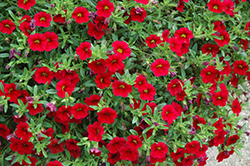 MiniFamous® Vampire Calibrachoa (Calibrachoa 'MiniFamous Vampire') at Stauffers Of Kissel Hill
