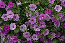MiniFamous® Double Amethyst Calibrachoa (Calibrachoa 'MiniFamous Double Amethyst') at Stauffers Of Kissel Hill