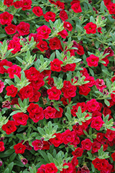 MiniFamous® Double Compact Red Calibrachoa (Calibrachoa 'MiniFamous Double Compact Red') at Stauffers Of Kissel Hill