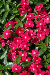 Mediterranean XP Hot Rose Vinca (Catharanthus roseus 'Mediterranean XP Hot Rose') at Stauffers Of Kissel Hill