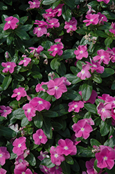 Cora® Deep Lavender Vinca (Catharanthus roseus 'Cora Deep Lavender') at Stauffers Of Kissel Hill